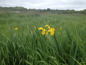 Walthamstow Marshes - June